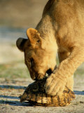 A One-Year-Old Lion Cub Investigates a Leopard Tortoise Photographic Print by Beverly Joubert