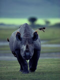 Red-Billed Oxpeckers Cling to a Black Rhinoceros