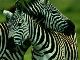 Burchells Zebras Fotografisk tryk af Chris Johns