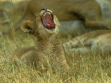 A Small Lion Cub Raises its Head into the Air and Yawns Stampa fotografica di Beverly Joubert