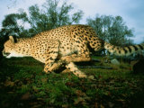 An African Cheetah Runs at the Home of its Owner Photographic Print by Michael Nichols
