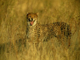 A Cheetah Yawns at the Camera Photographic Print by Beverly Joubert