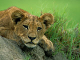 A Lion Cub Crouches on a Rock Photographic Print by Beverly Joubert