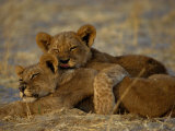 Two Lion Cubs Snuggle Together on the Ground Photographic Print by Beverly Joubert