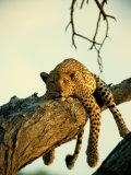 Beverly Joubert - Leopard lenošící na stromě Fotografická reprodukce