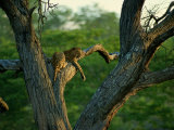 A Leopard Lounges in a Tree Photographic Print by Beverly Joubert