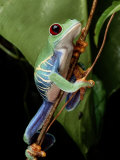 A Red-Eyed Tree Frog Climbing a Vine Photographic Print by George Grall