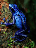 Blue Poison-Dart Frog Photographic Print by George Grall