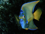 Angelfish Photographic Print by Wolcott Henry