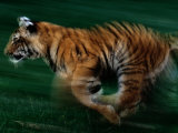 Running Tiger Photographic Print by Michael Nichols