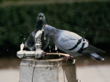 Pigeons Drinking from an Outdoor Water Fountain Photographie par Medford Taylor