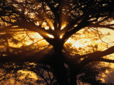 Sunlight Filters Through the Branches of a Large Tree Photographic Print by Paul Chesley