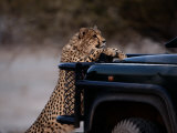 An African Cheetah Leans on a Tourist Vehicle While Waiting Expectantly for Food Photographic Print by Chris Johns