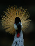 A Crowned Crane at the San Diego Wild Animal Park Photographic Print by Michael Nichols