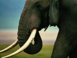 African Elephant Photographic Print by Chris Johns