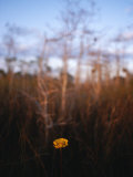 A Single Wildflower Blooming in Everglades National Park Photographic Print by Raul Touzon