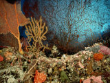 A Coral Scene with Grouper Fish Photographic Print by Wolcott Henry