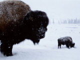 Bison in the Snow Photographic Print by Joel Sartore