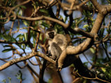A Wild Vervet, or Green Monkey, Perched in a Tree Photographic Print by Tim Laman