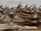 Running Springboks Photographic Print by Nicole Duplaix