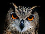 Close-up of an Owl Fotografisk tryk af Joel Sartore