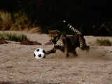 A Domesticated African Cheetah Shows its Natural Speed While Playing with a Soccer Ball Impressão fotográfica por Chris Johns