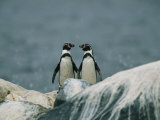 A Pair of Humboldt, or Peruvian, Penguins on a Rocky Shore Photographic Print by Joel Sartore