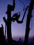 Peacocks silhouetted in remains of trees after Hurricane Andrew, Giclee Print