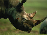 Rhino with an Oxpecker Photographic Print by Chris Johns