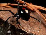 A Black Widow Spider Photographic Print by George Grall