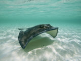 A Southern Stingray Glides Gracefully Through Pristine Water Photographic Print by Wolcott Henry