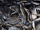 Close-up of Blue Crabs Caught in a Crab Pot Fotografisk tryk af Melissa Farlow
