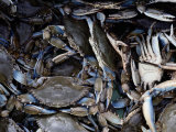 Close-up of Blue Crabs Caught in a Crab Pot Photographic Print by Melissa Farlow
