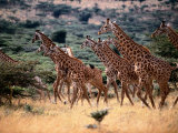 A Herd of Masai Giraffes on the African Plains Photographic Print by Tim Laman
