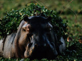 Hippopotamus with Duckweed on its Back Photographic Print by Chris Johns