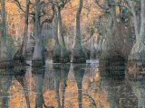 Sunlight Through a Cypress Swamp with Reflections Fotografie-Druck von Medford Taylor