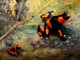 Two Poison Frogs, Possibly Adult and Juvenile Photographic Print by George Grall