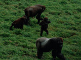 A Family of Gorillas (Gorilla Gorilla Gorilla) Foraging for Food in the Bai Photographic Print by Michael Nichols