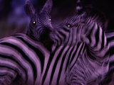 Blurred View of a Pair of Zebras Photographic Print by Michael Nichols