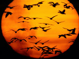A Flock of Geese is Silhouetted against the Setting Sun Photographic Print by Joel Sartore