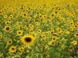 A Field Full of Sunflowers Photographic Print