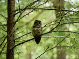 Northern Spotted Owl Photographic Print by James P. Blair