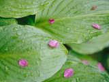 Pink Flower Petals Resting on Dew Drenched Hosta Leaves Photographic Print by Heather Perry