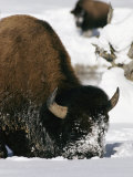 American Bison Forage in the Snow Photographic Print by Roy Toft