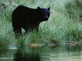 Black Bear (Ursus Americanus) Photographic Print by Raymond Gehman