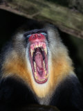 A Captive Mandrill Bares its Teeth in Warning Photographic Print by Tim Laman