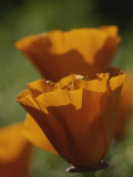 Close View of California Poppies Photographic Print by Marc Moritsch