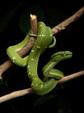 A Yellow-Lined Palm Viper Photographic Print by George Grall