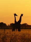 Giraffes Silhouetted at Twilight Photographic Print by Beverly Joubert