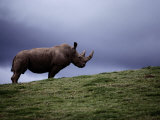 Northern White Rhinoceros Impresso fotogrfica por Michael Nichols